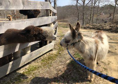 Meeting the Alpacas